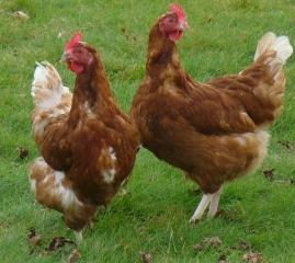 poule-01